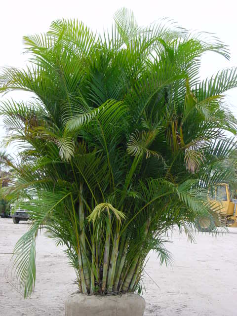 Areca palm tree florida related keywords areca palm tree for Pictures of areca palm plants