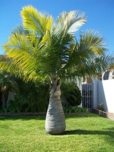 Popular Palm Trees Found In Florida Palm Tree Dr Blog