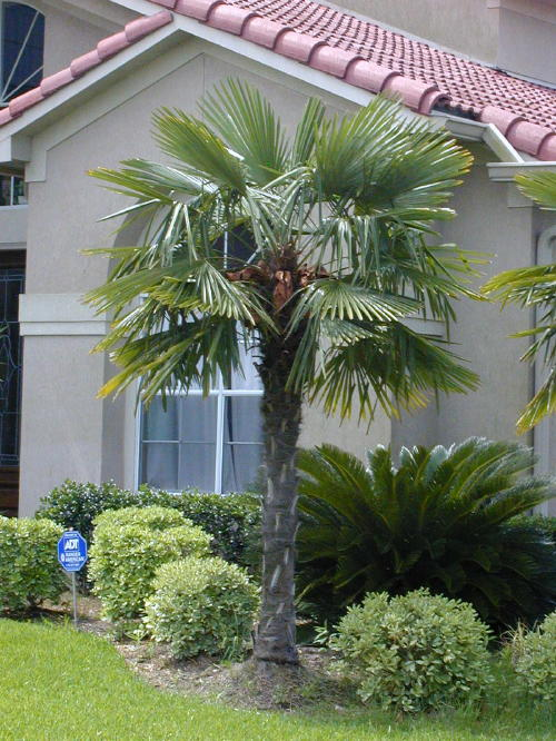 Popular Palm Trees Found in Florida  Palm Tree Dr.  Blog