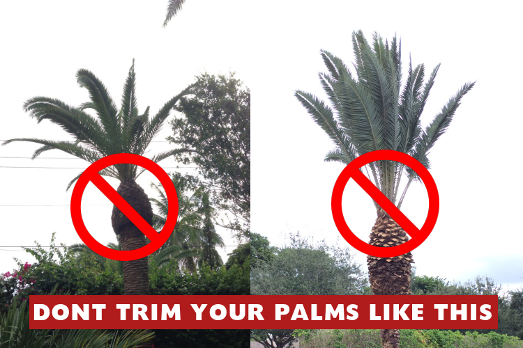 Don T Trim Your Palms Blog